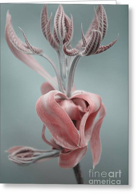 Magnolia  Greeting Card by September  Stone
