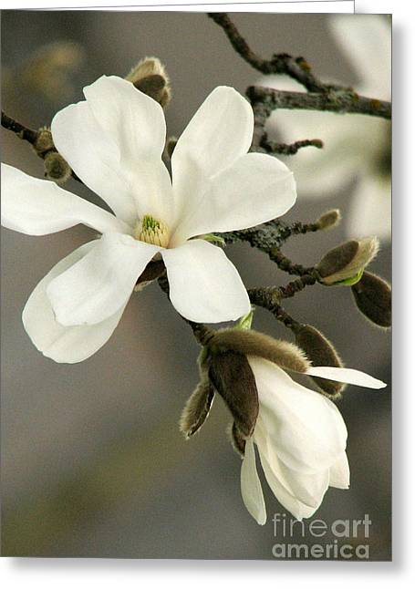 Magnolia Greeting Card by Frank Townsley