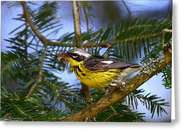 Magnolia Warbler Greeting Card by Bruce J Robinson