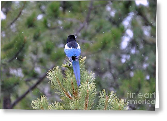 Magpie In Snow Greeting Card