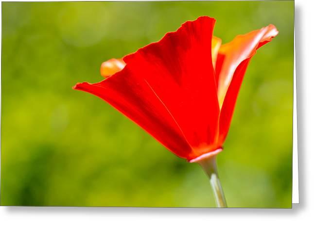 Mahogany California Poppy I Greeting Card by Heidi Smith