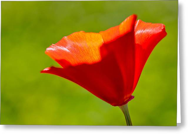 Mahogany California Poppy IIi Greeting Card by Heidi Smith