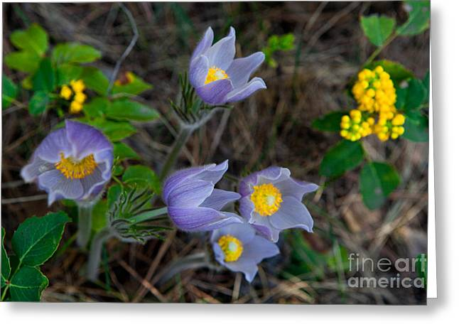 Mahonia And Pasqueflowers Greeting Card