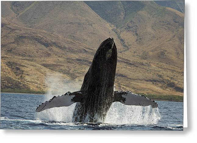 Majestic Breaching Whale Greeting Card by Dave Fleetham