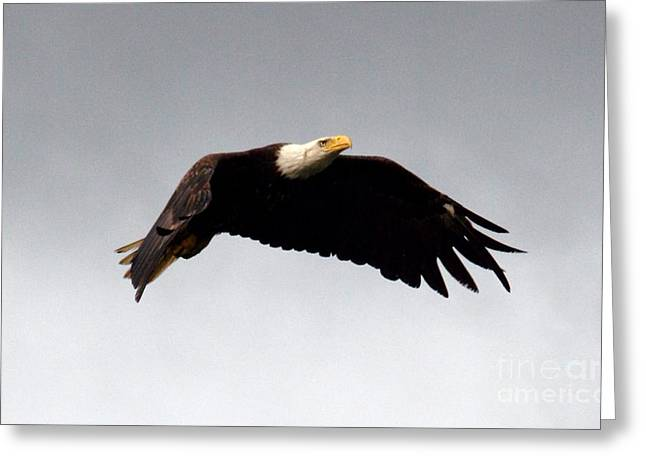 Greeting Card featuring the photograph Majestic Flight by Polly Peacock
