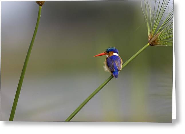 Malachite Kingfisher On A Grass Stem Greeting Card by Roy Toft