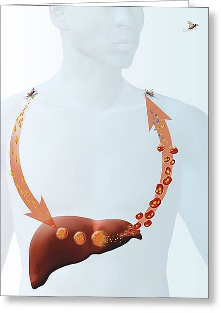 Malaria Life-cycle, Artwork Greeting Card by Claus Lunau