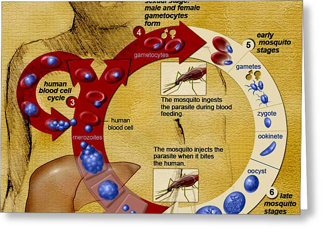 Malaria Parasite Life Cycle Greeting Card by Science Source