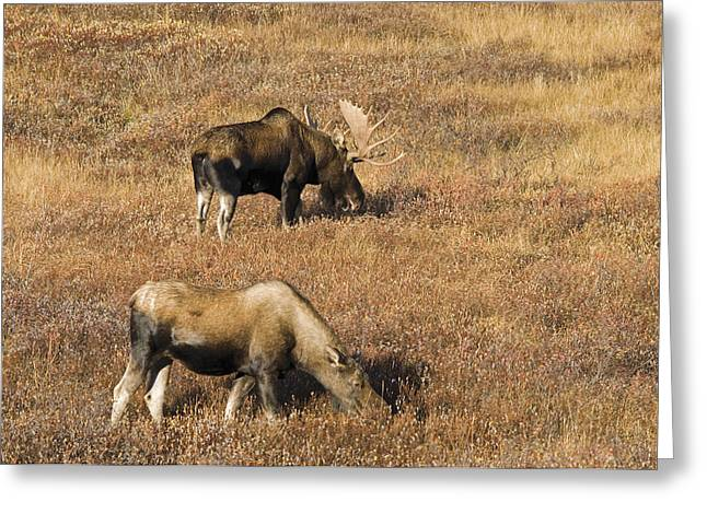 Male And Female Moose Alces Alces In Greeting Card by Philippe Widling