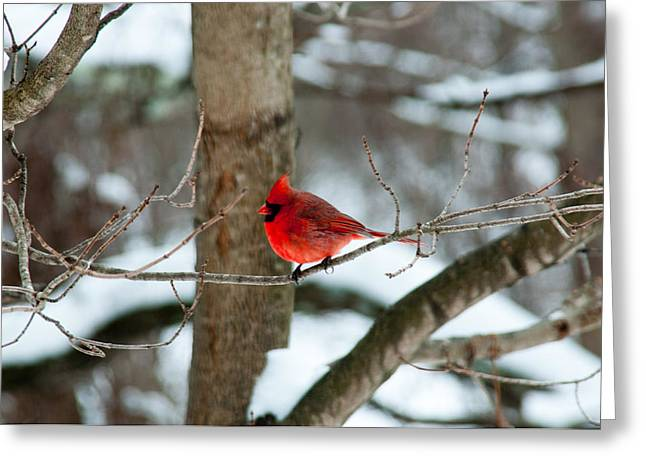 Male Cardinal In Winter Greeting Card