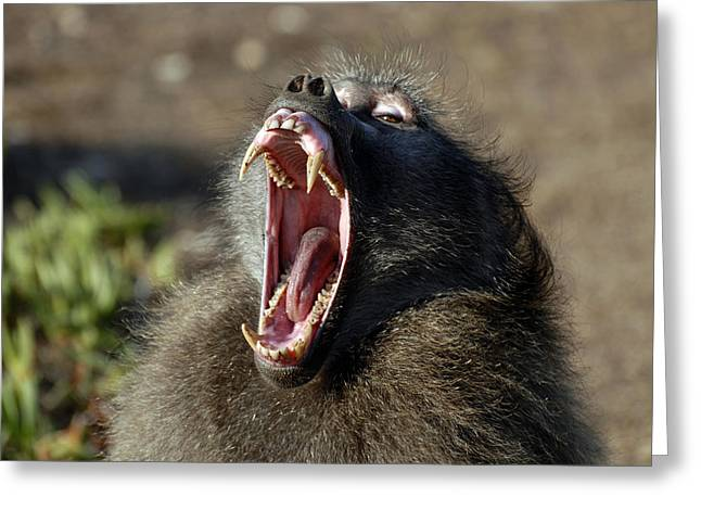 Male Chacma Baboon Greeting Card by Peter Chadwick