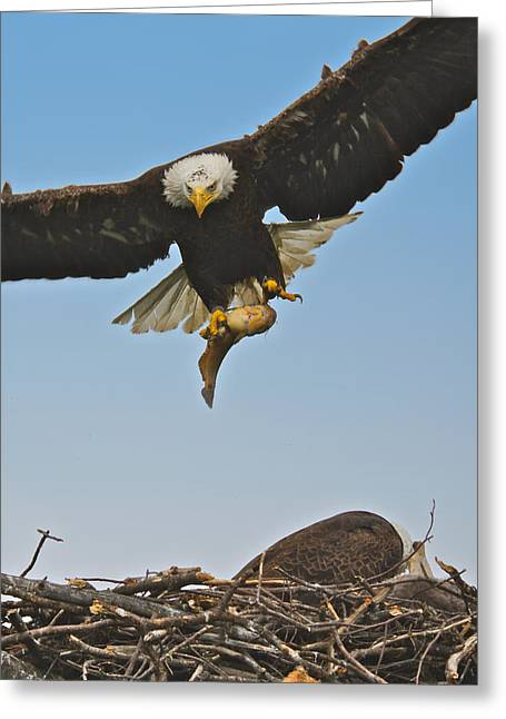 Male Eagle With Dinner Greeting Card