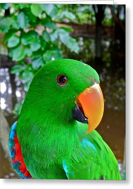 Male Eclectus Parrot II Greeting Card by Kirsten Giving