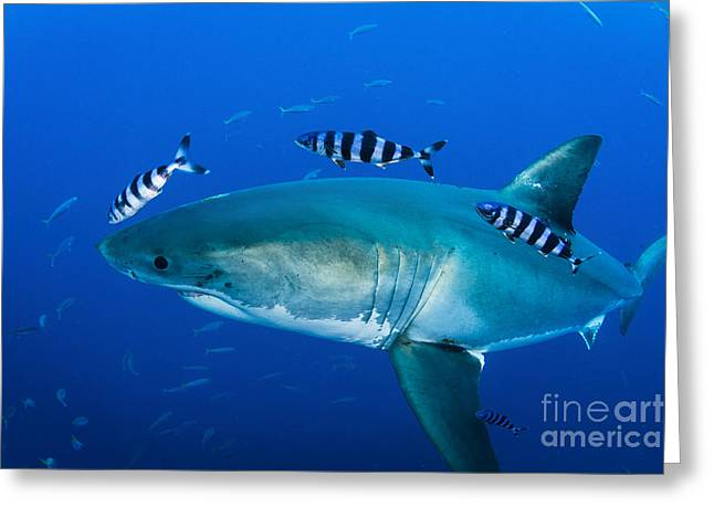 Male Great White Shark And Pilot Fish Greeting Card by Todd Winner