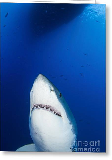 Male Great White Shark Showing Teeth Greeting Card by Todd Winner