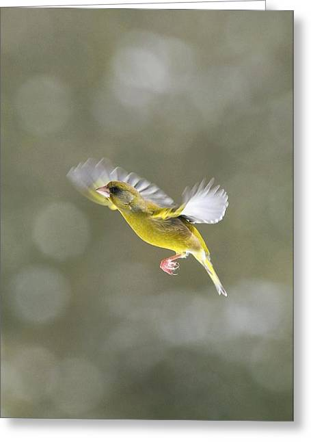 Male Greenfinch In Flight Greeting Card by Colin Varndell