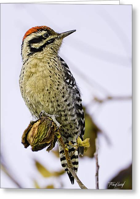 Male Ladder Back Woodpecker Eating Pecan Greeting Card by Fred J Lord