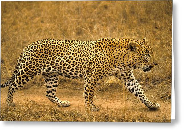Male Leopard Greeting Card by John Pitcher