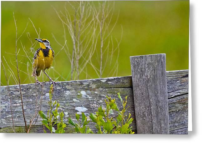 Male Lilian's Meadowlark Greeting Card by Brenda Becker