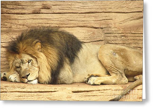 Male Lion Resting Greeting Card