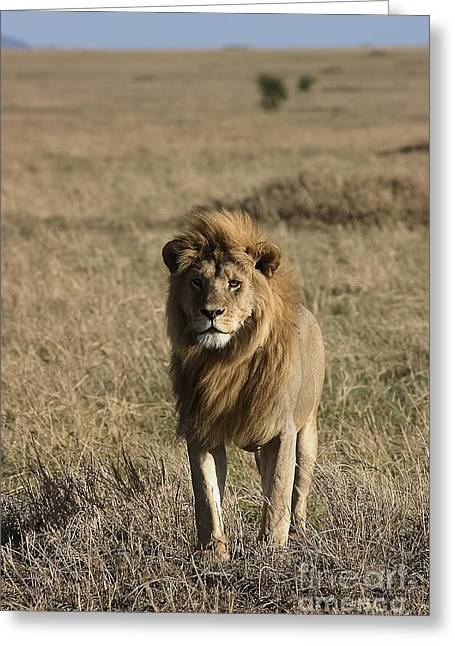 Male Lion's Gaze Greeting Card by Darcy Michaelchuk