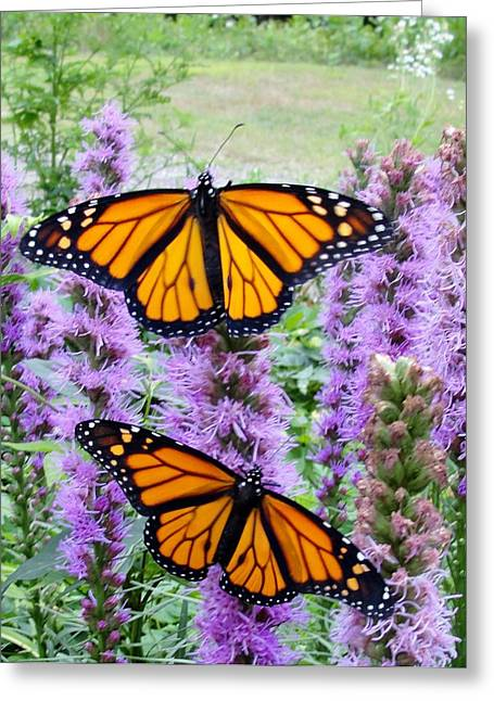 Male Monarchs Greeting Card by Katie Bauer