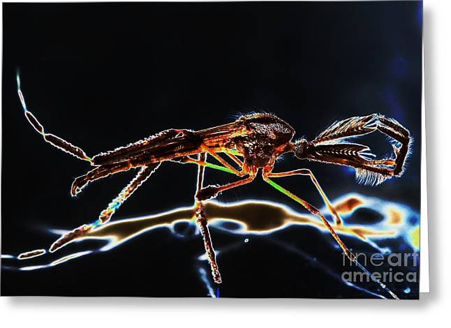 Male Mosquito Enhanced Greeting Card by Lynda Dawson-Youngclaus