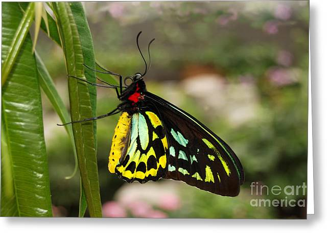 Greeting Card featuring the photograph Male New Guinea Birdwing Butterfly by Eva Kaufman