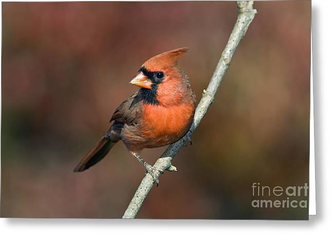 Male Northern Cardinal - D007813 Greeting Card