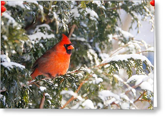 Male Northern Cardinal. Greeting Card by Kelly Nelson