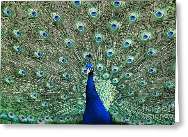 Male Peacock On Display Greeting Card by Paul Ward