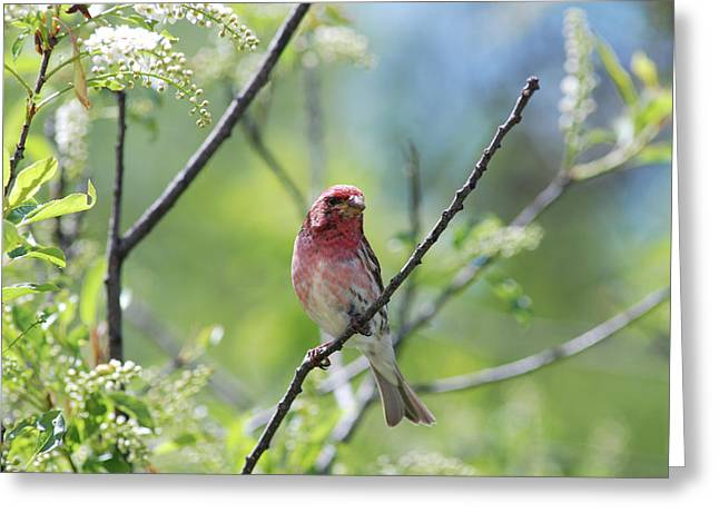 Male Purple Finch Greeting Card