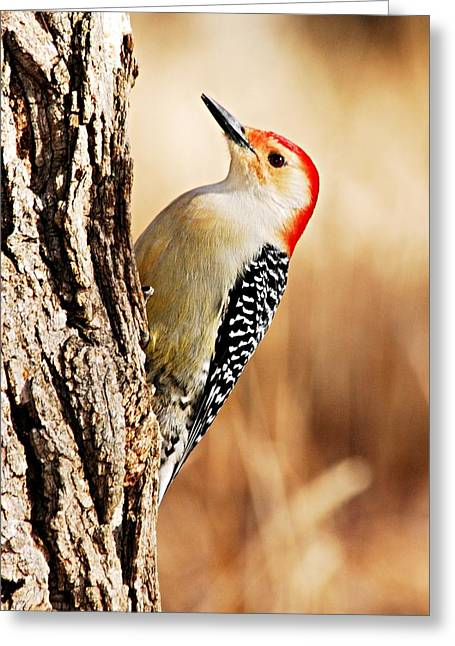 Male Red-bellied Woodpecker 3 Greeting Card