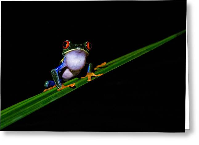 Male Red Eye Tree Frog Greeting Card by Hali Sowle