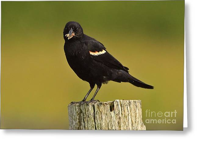 Male Red Winged Black Bird With Insect Lunch Greeting Card by Inspired Nature Photography Fine Art Photography