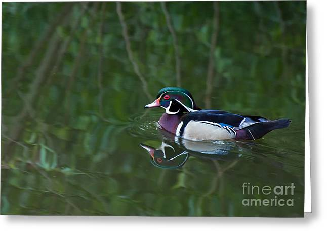 Male Wood Duck In A Forest Of Reflections Greeting Card by Gerda Grice