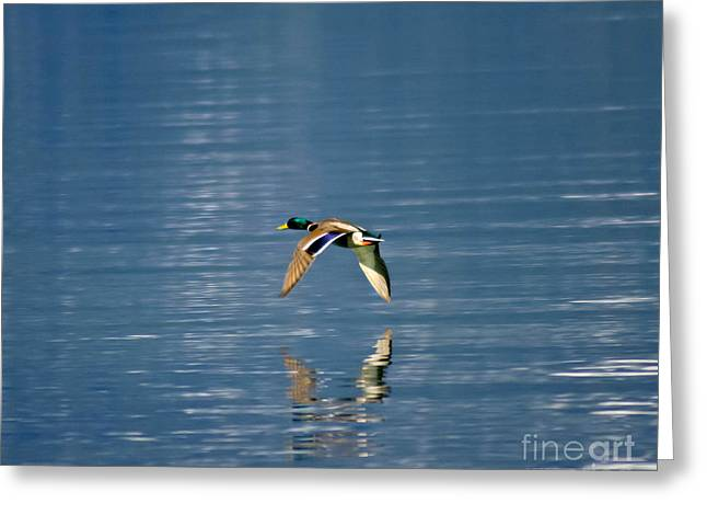 Greeting Card featuring the photograph Mallard Drake. by Mitch Shindelbower