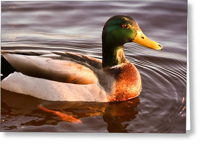 Greeting Card featuring the photograph Mallard Duck At Sunset by Ann Murphy