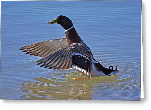 Mallard Duck Greeting Card by Charles Covington