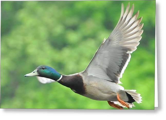 Mallard Duck In Flight Greeting Card by Paul Ward