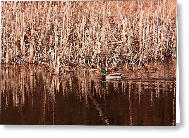 Greeting Card featuring the photograph Mallard Duck by Josef Pittner