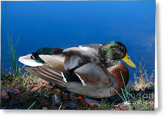 Greeting Card featuring the photograph Mallard On River Bank by Eva Kaufman