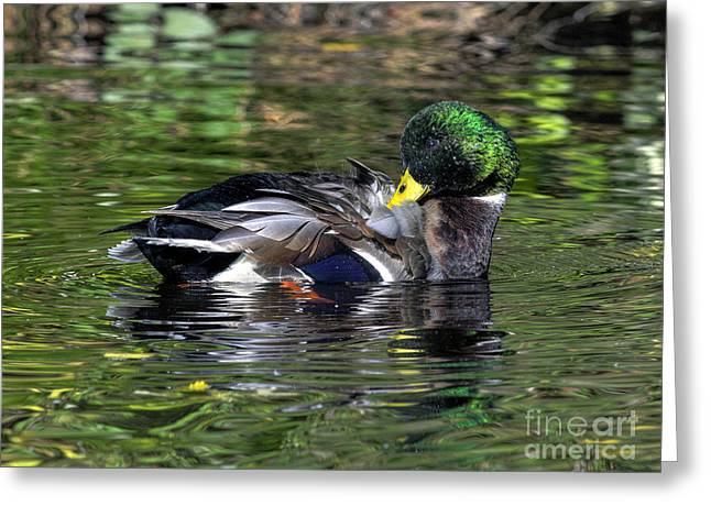 Mallard Preening Hdr Greeting Card by Sharon Talson