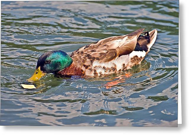 Mallard With Cracker Greeting Card by Susan Leggett