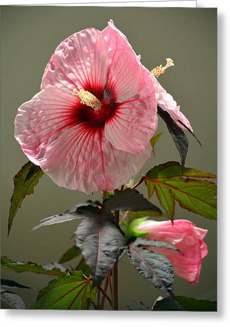 Mallow Hibiscus Greeting Card by Sandi OReilly