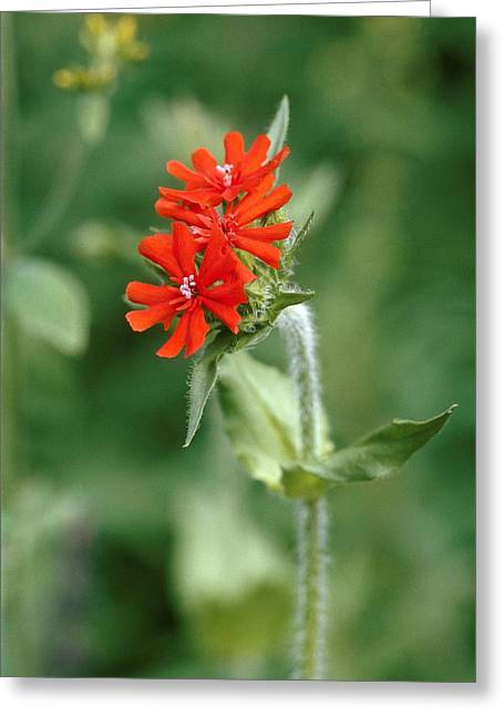Maltese Cross (lychnis Chalcedonica) Greeting Card by Vaughan Fleming