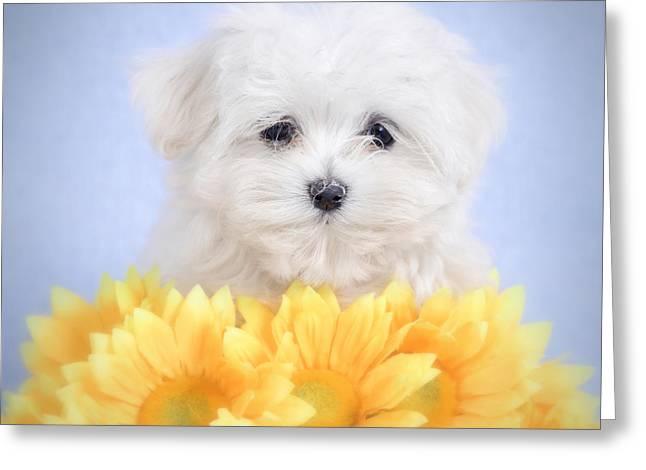Maltese  Puppy Portrait Greeting Card by Waldek Dabrowski