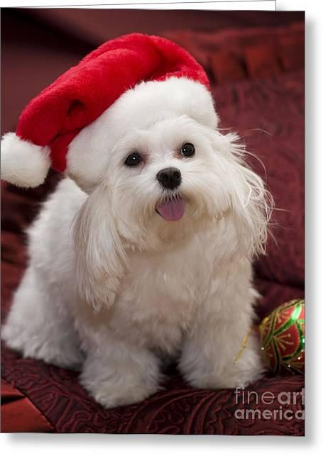 Leslie Leda Greeting Cards - Maltese Santa Greeting Card by Leslie Leda
