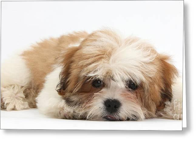 Maltese Shih-tzu Mix Puppy Lying Down Greeting Card by Mark Taylor