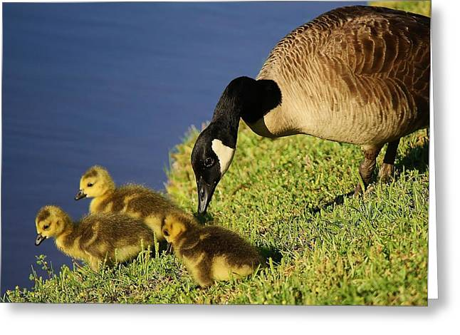 Mama Geese With Her Babies Greeting Card by Paulette Thomas